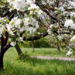 Яблоневый сад весной