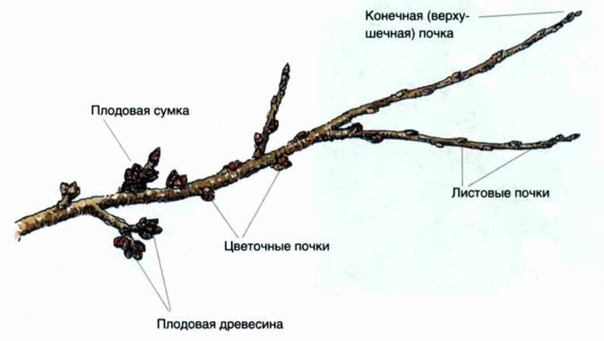 Схема ветки яблони