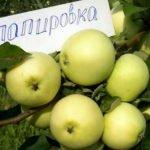 Яблоки Папировка