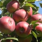 Яблоки Лобо