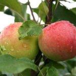 Яблоки Мантет