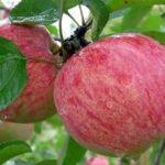 Яблоки Коричное полосатое