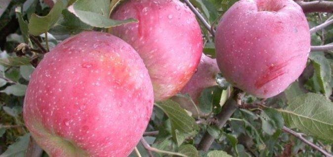 Яблоки Флорина