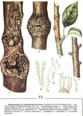 Ботанический рисунок: обыкновенный рак яблонь
