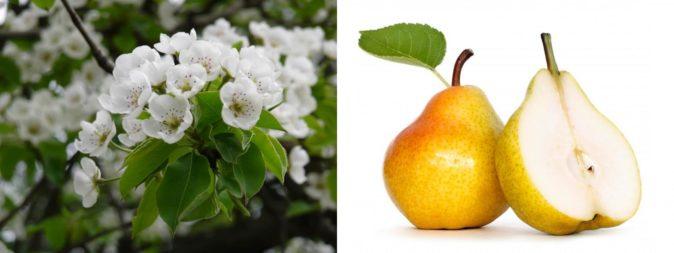 Цветы и плоды груши