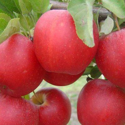 Яблоки Гала Маст на ветке