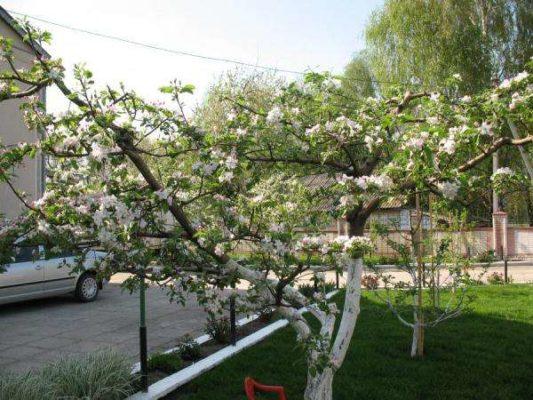 Яблоня с чашевидной кроной