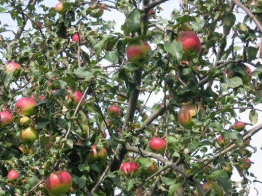 Крона яблони Уэлси