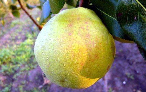 жёлтая округлая груша