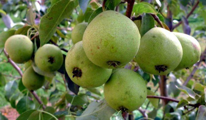 мелкие зелёные груши на ветке