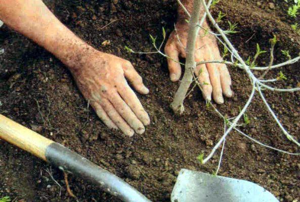 ладони уплотняют землю у саженца