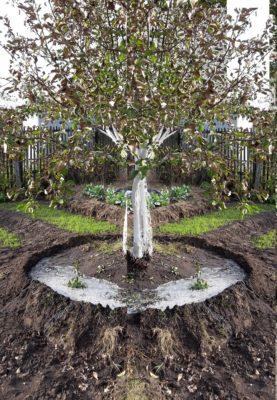Полив взрослой яблони