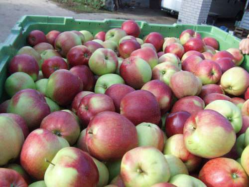 Плоды яблони Лигол