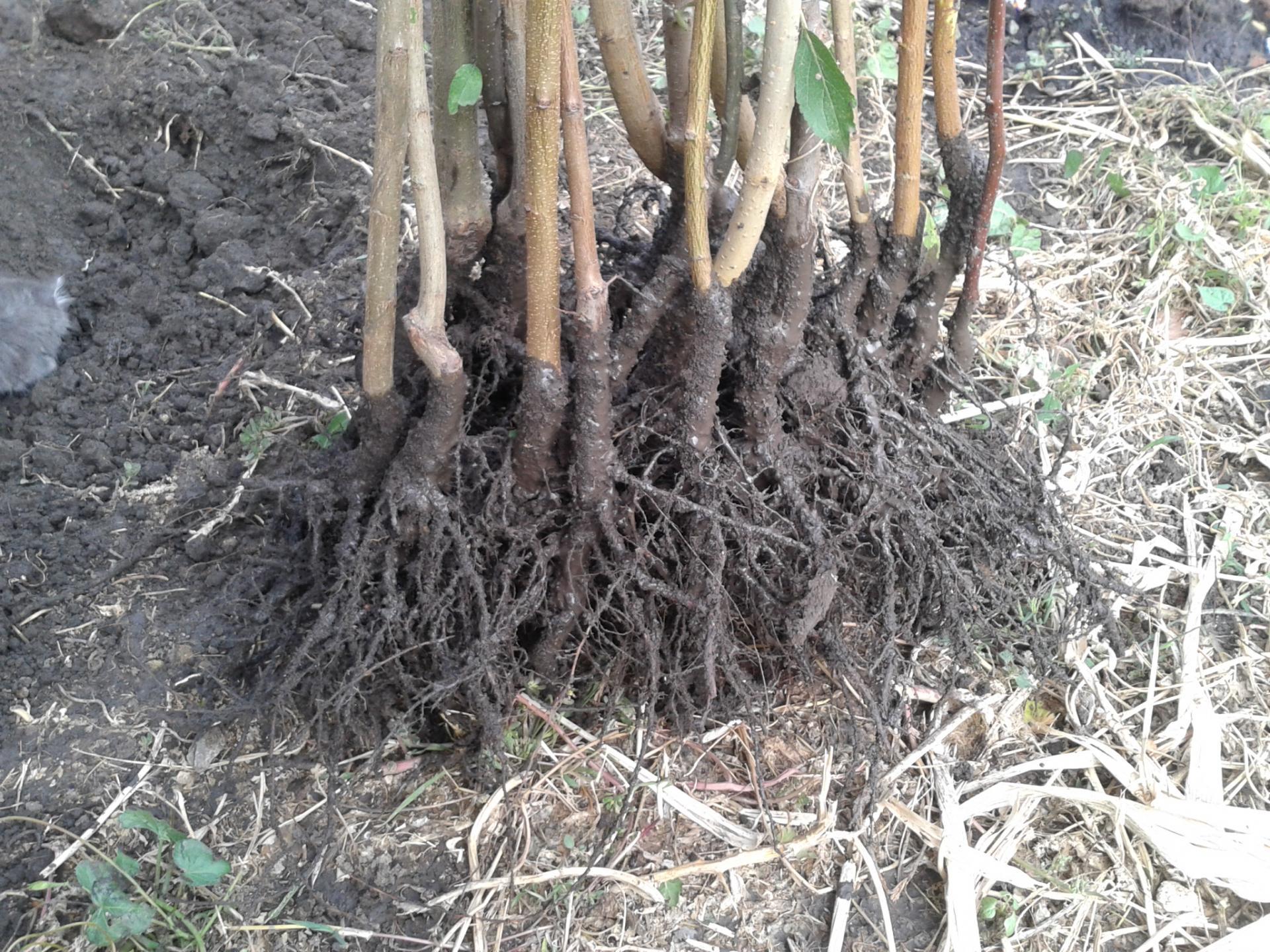чтобы как растет корень груши фото продуктов, результат