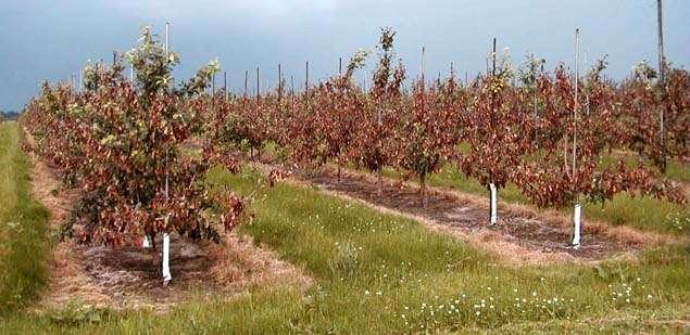 Яблоневый сад, поражённый бактериальным ожогом