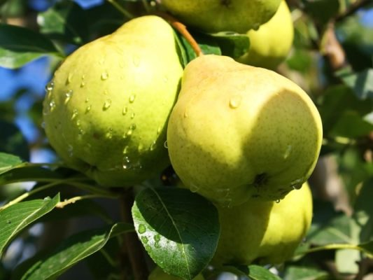 Сорт груши Августовская роса