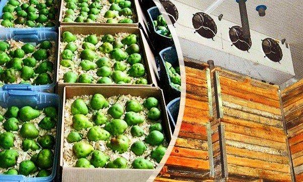 груши в ящиках в погребе
