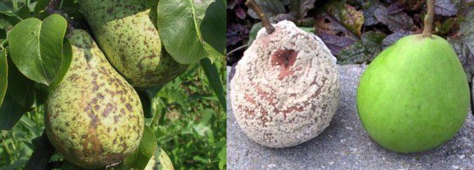Заболевания плодов груши