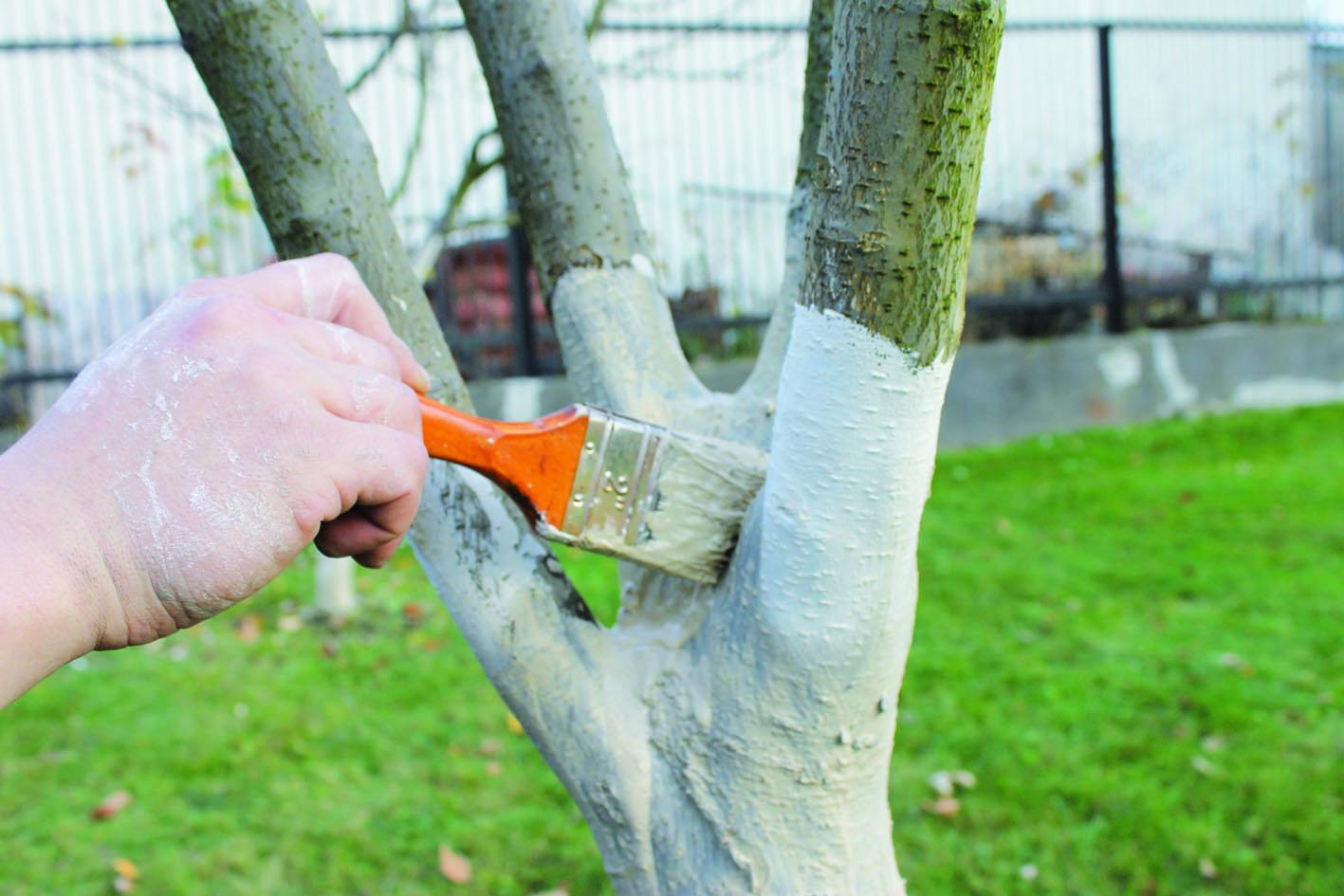 Чем и как проводить побелку деревьев весной