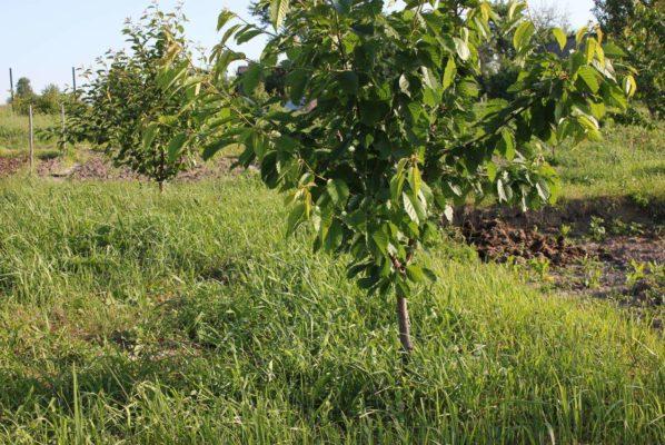 Два дерева черешни