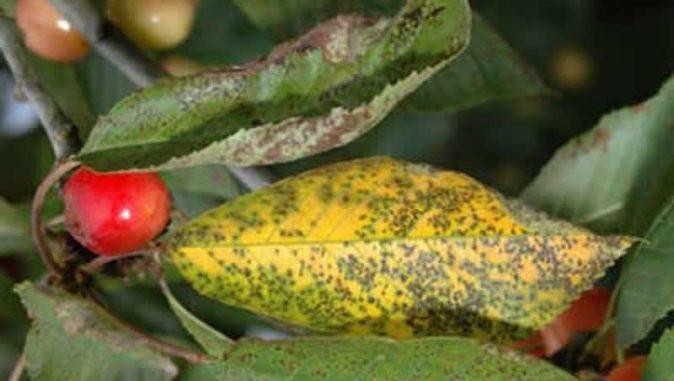 Листья черешни, поражённые коккомикозом