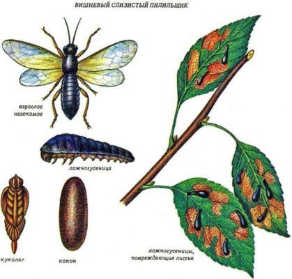 Ботанический рисунок: вишнёвый слизистый пилильщик