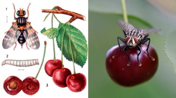 Ботанический рисунок и фото вишнёвой мухи