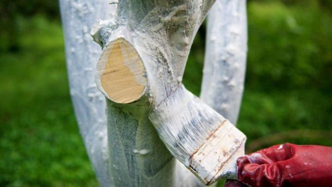 Начало побелки яблони