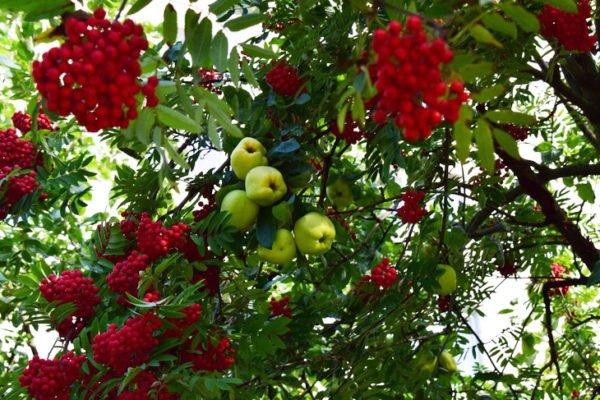 Яблоня на рябине