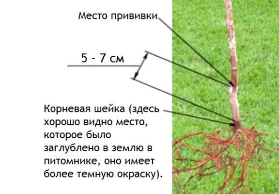 Схема расположения корневой шейки и места прививки саженца