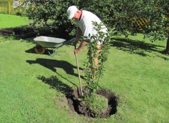 Выкопка молодого дерева