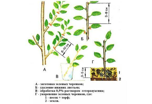 Схема заготовки и укоренения черенков