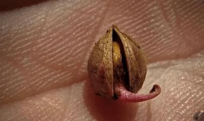 Теснувшая косточка черешни с ростком