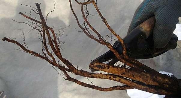Обрезка корней саженца