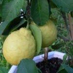 Сорт лимона Пондероза