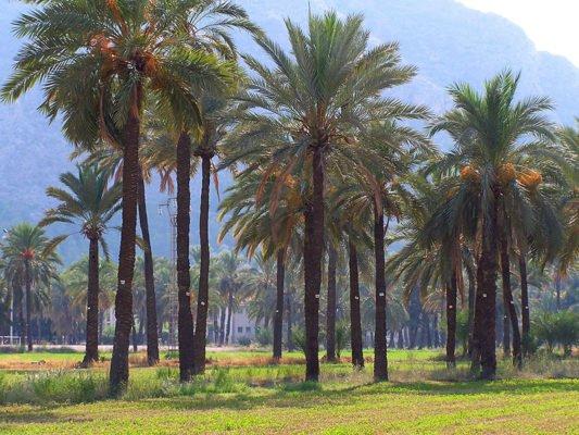 Финиковая плантация в Испании
