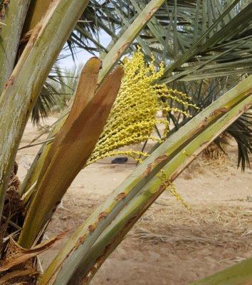 Женское соцветие финиковой пальмы