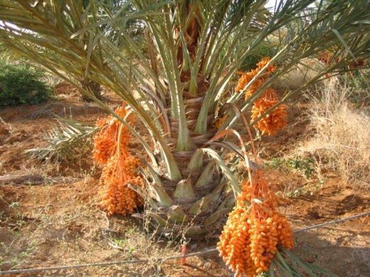 Молодая финиковая пальма с плодами