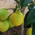 Лимон сорта Мейер