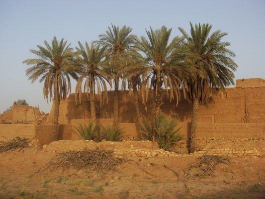 Финиковые пальмы с отпрысками