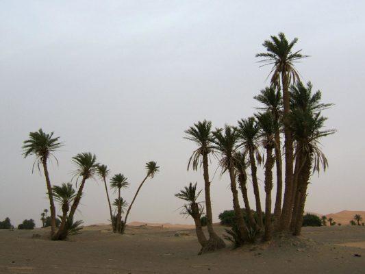 Финиковые пальмы в пустыне