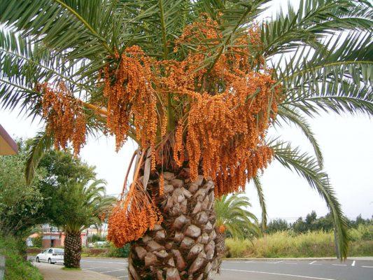 Финик канарский с плодами