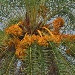 Phoenix sylvestris
