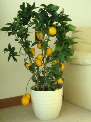 Плодоносящее лимонное деревце