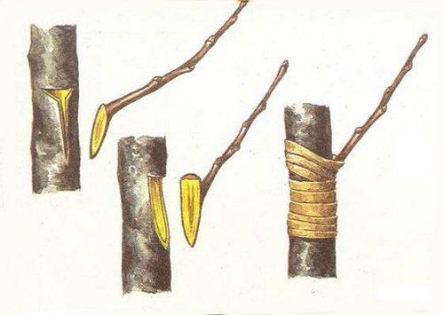 Схема прививки лимона окулировкой