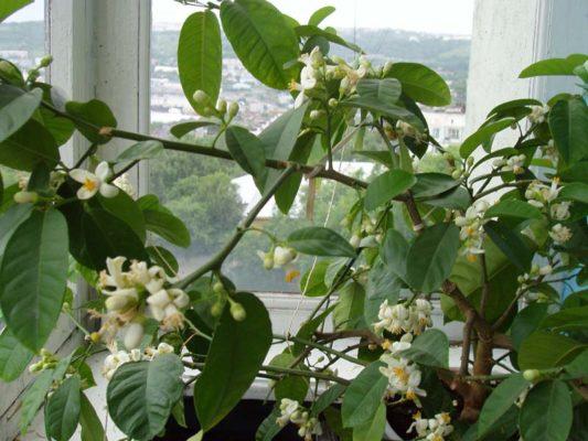 Цветущее деревце комнатного лимона