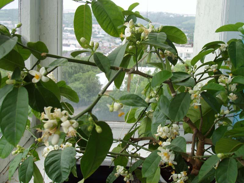 облагораживанию цветок лимонник домашний фото чем-то пропитать
