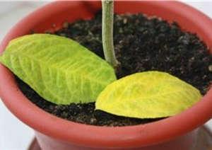 Желтеющие листья на лимоне