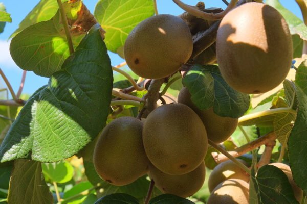 Плоды киви