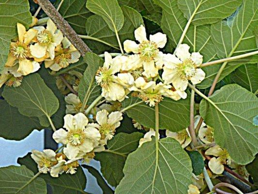 Женские цветки киви